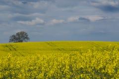 Выход цветков rapseed желтым цветом Стоковое Изображение RF