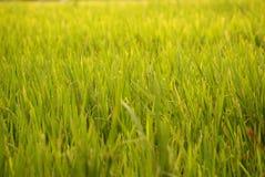 вычерченная иллюстрация руки травы поля Стоковые Фотографии RF