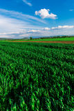 вычерченная иллюстрация руки травы поля Стоковая Фотография
