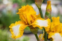 вычерченная радужка иллюстрации руки цветков Стоковая Фотография RF