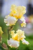 вычерченная радужка иллюстрации руки цветков Стоковые Фото
