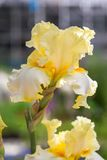 вычерченная радужка иллюстрации руки цветков Стоковое Фото