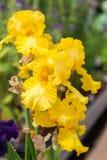 вычерченная радужка иллюстрации руки цветков Стоковое Изображение