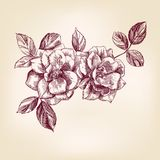 вычерченные розы руки Стоковое Фото