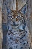 вычерченный эскиз портрета карандаша lynx Стоковые Изображения