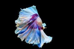 Вычура полумесяца рыб боя Стоковое Изображение