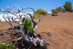 Вычурно изогнутое малое высушенное-вверх дерево стоковое изображение