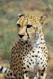 вышесказанного Намибия Гепард Стоковая Фотография