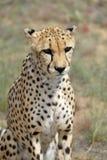 вышесказанного Намибия Гепард Стоковое фото RF