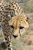 вышесказанного Намибия Гепард Стоковые Изображения