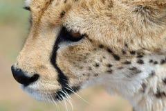вышесказанного Намибия Гепард Стоковое Изображение RF