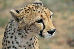 вышесказанного Намибия Гепард Стоковые Изображения RF