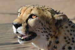 вышесказанного Намибия Гепард Стоковое Фото