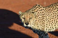 вышесказанного Намибия Гепард Стоковые Фото