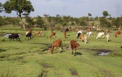 вышесказанного Kenia животные в национальном парке Mara Masai Стоковое Изображение RF