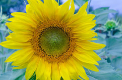 выдающий солнцецвет стоковое изображение rf
