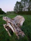 Выдержанный пень дерева на поле Стоковое фото RF