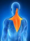 Выделенная мышца trapezius Стоковые Фотографии RF