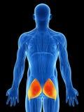 Выделенная нижняя мышца Стоковые Изображения RF