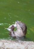Выдра есть рыб в бассейне стоковые изображения