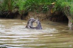 2 выдры играя в воде Стоковые Фото