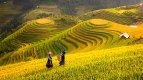 Вьетнам Поля риса подготавливают сбор на северо-западном Вьетнаме Стоковая Фотография