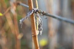Вязка виноградного вина Стоковое Изображение RF