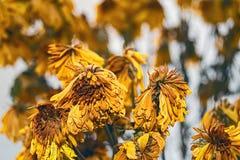 Вянуть букет желтых хризантем Стоковая Фотография RF