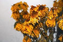 Вянуть букет желтых хризантем Стоковое Изображение