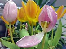 Вянуть букет: розовые и желтые тюльпаны Стоковые Фотографии RF