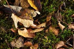 Вянуть листья коричневого цвета на зеленом мхе Стоковая Фотография RF