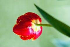 Вянуть красный тюльпан Стоковая Фотография RF