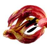Вянуть красный тюльпан Стоковые Изображения