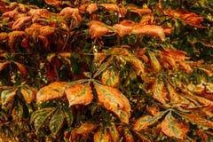 Вянуть листья осени каштана Осень в городе Стоковая Фотография