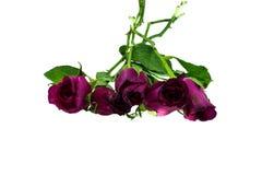 Вянуть роза изолированная над белой предпосылкой Стоковые Изображения