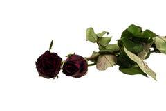 Вянуть роза изолированная над белой предпосылкой Стоковые Фото