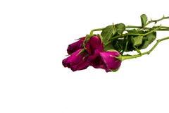 Вянуть роза изолированная над белой предпосылкой Стоковое Изображение