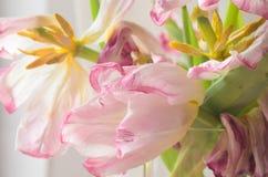 Вянуть розовые тюльпаны Стоковое фото RF
