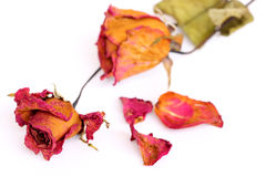 Вянуть розы и лепестки над белой предпосылкой Стоковые Изображения RF