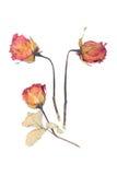 Вянуть розы и лепестки разбросали на белую предпосылку Стоковые Фотографии RF