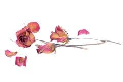 Вянуть розы и лепестки разбросали на белую предпосылку Стоковая Фотография RF