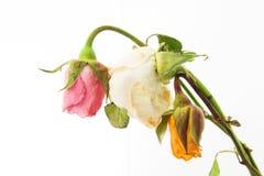 Вянуть розы Стоковые Фото