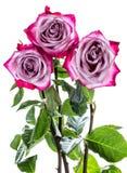 3 вянуть розы Стоковая Фотография RF