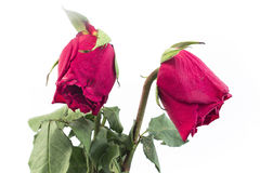 2 вянуть розы Стоковое Изображение RF