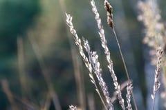 Вянуть трава перед восходом солнца Стоковое Фото