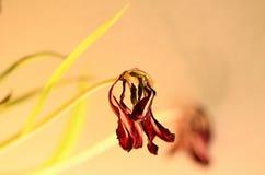 Вянуть тюльпан Стоковое фото RF