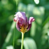 Вянуть тюльпан Стоковое Фото