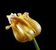 вянуть тюльпана Стоковые Фотографии RF