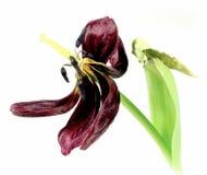 вянуть тюльпана Стоковые Изображения RF