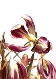 Вянуть тюльпаны изолированные на белизне стоковые фотографии rf